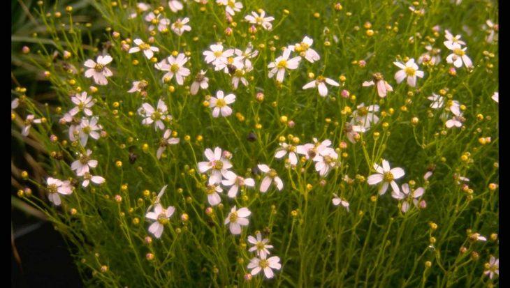 Coreopsis rosea 'Nana'