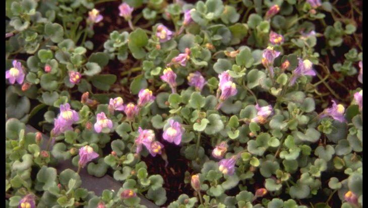 Cymbalaria pilosa