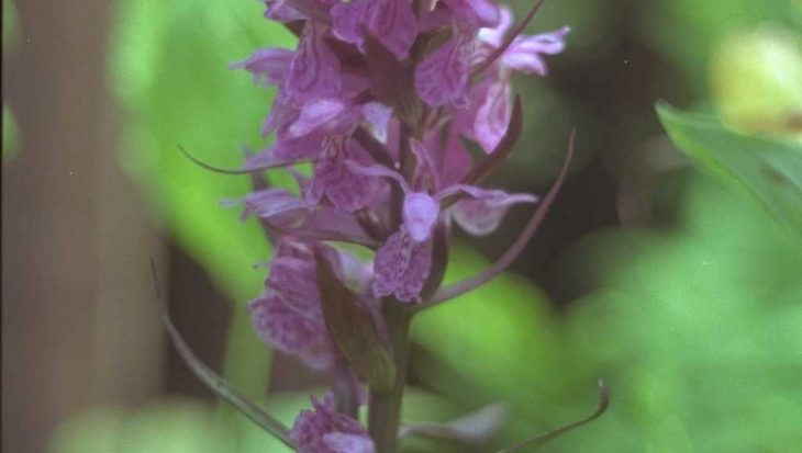 Dactylorhiza majalis subsp. praetermissa