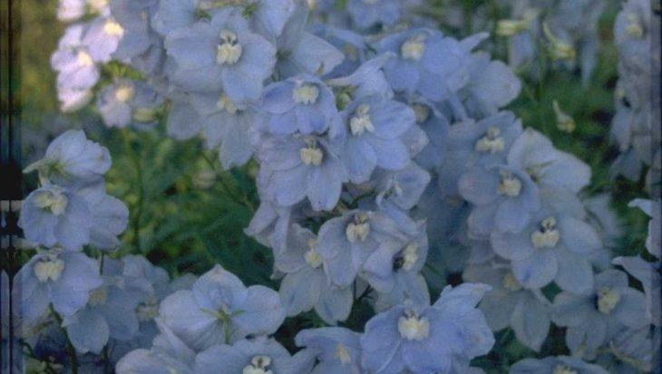 Delphinium 'Cliveden Beauty'