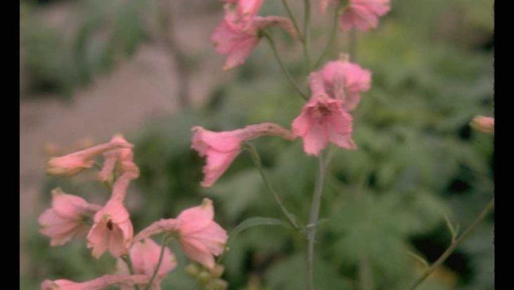 Delphinium x ruysii 'Pink Sensation'