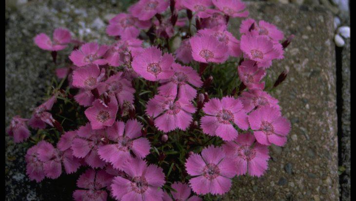 Dianthus alpinus