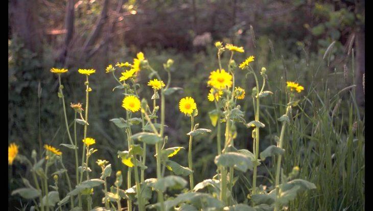 Doronicum pardalianches 'Goldstrauss'