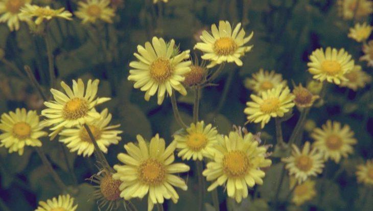 Doronicum plantagineum 'Excelsum'