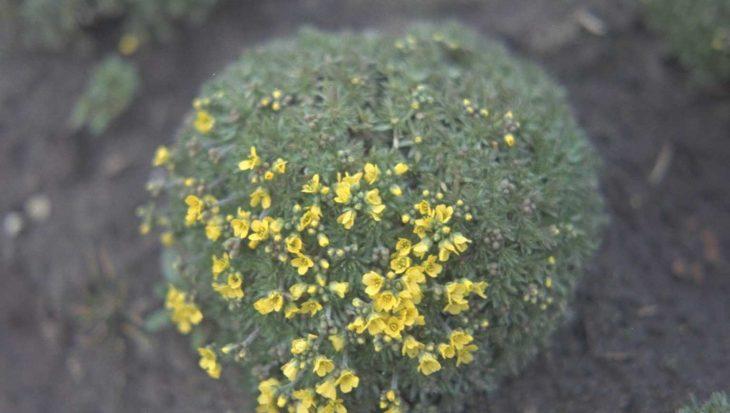 Draba bruniifolia