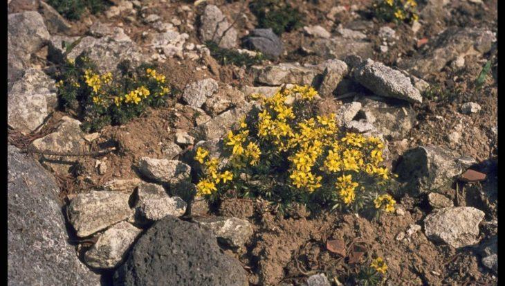 Draba lasiocarpa