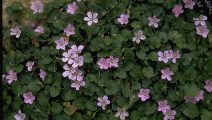 Erodium x variabile 'Roseum'