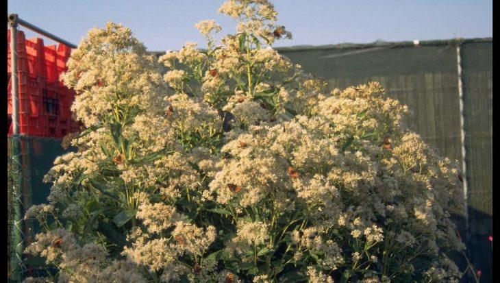Eupatorium maculatum 'Album'