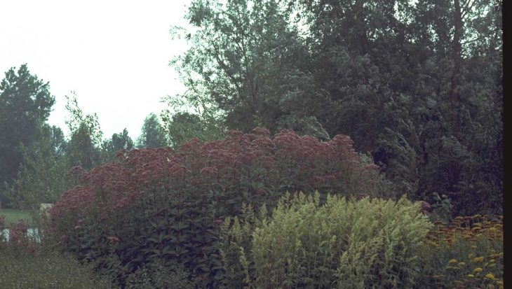 Eupatorium maculatum 'Glutball'