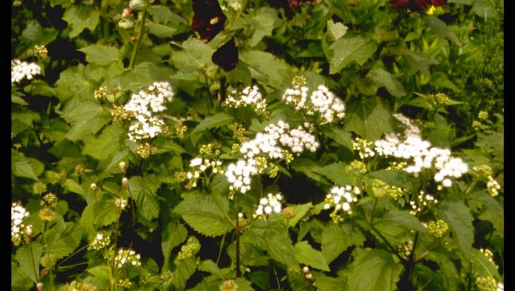 Eupatorium rugosum 'Braunlaub'