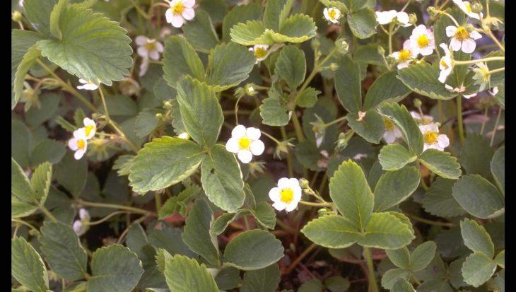 Fragaria x ananassa 'Revada'