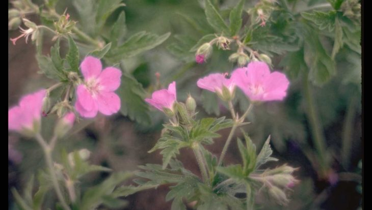 Geranium x oxonianum 'Claridge Druce'