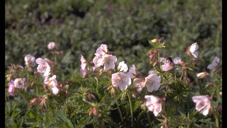 Geranium pratense 'De Bilt'