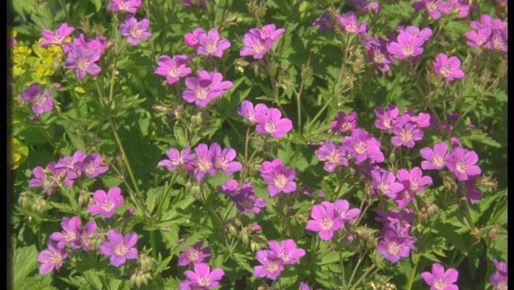 Geranium sylvaticum 'Birch Lilac'