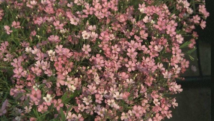 Gypsophila repens 'Rosa Sch?nheit'