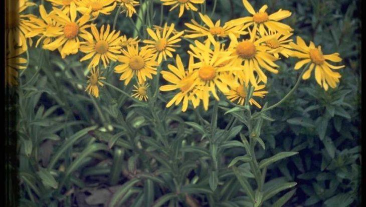 Helenium hoopesii