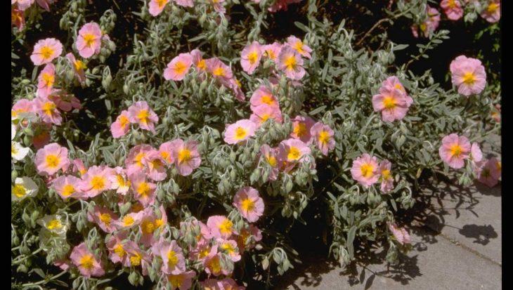 Helianthemum 'Wisley Pink'