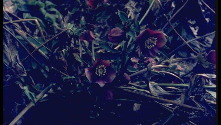 Helleborus 'Atrorubens'