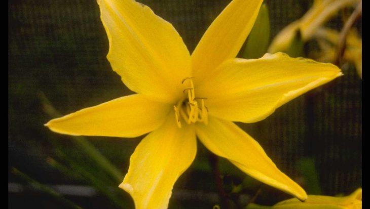 Hemerocallis 'Gold Imperial'