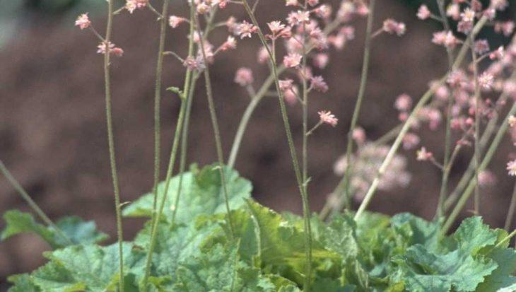 x Heucherella tiarelloides