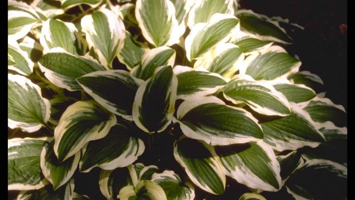 Hosta 'Ground Master'