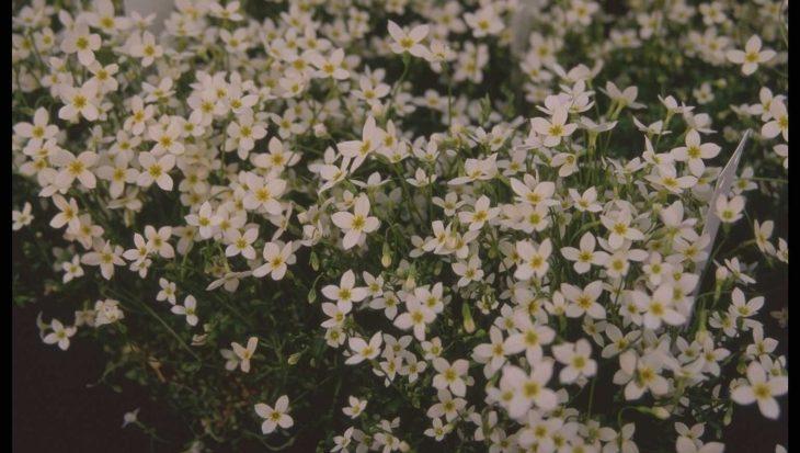 Houstonia caerulea 'Alba'