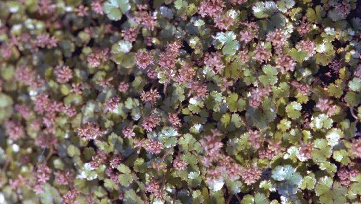 Hydrocotyle novae-zelandiae