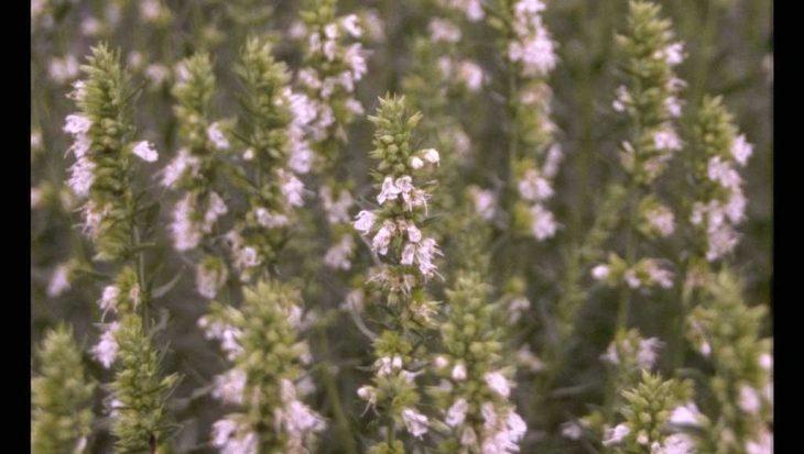 Hyssopus officinalis 'Albus'