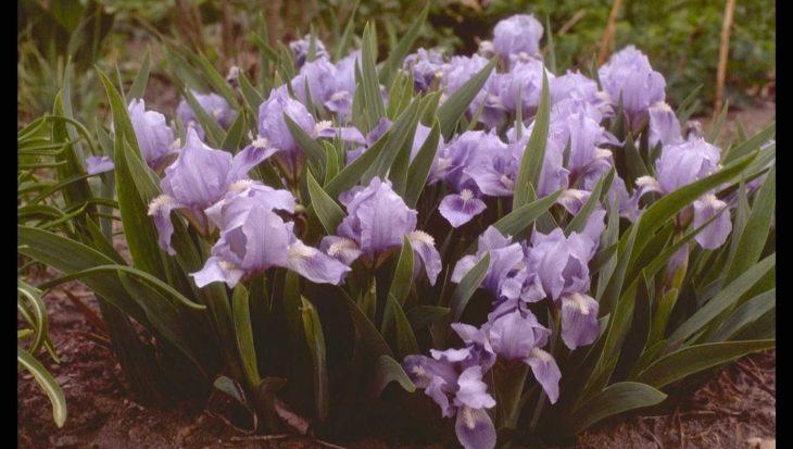 Iris 'Blue Denim'