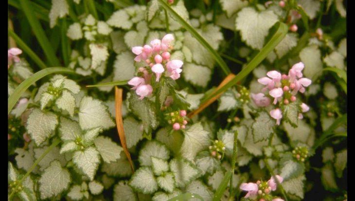 Lamium maculatum 'James Boyd Parselle'