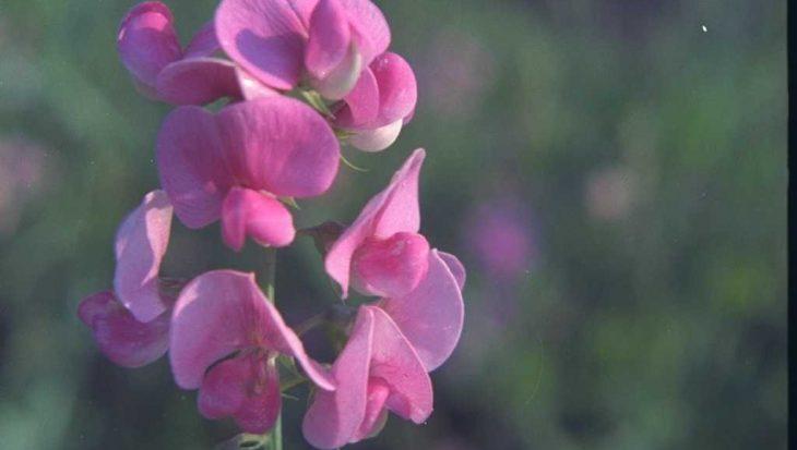 Lathyrus latifolius 'Rosa Perle'