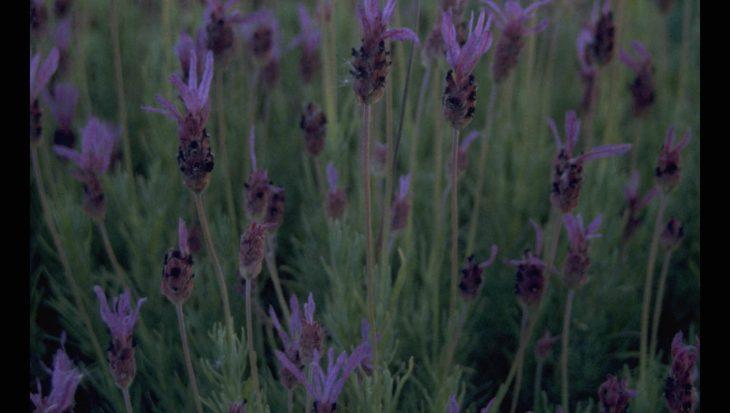 Lavandula stoechas subsp. pedunculata