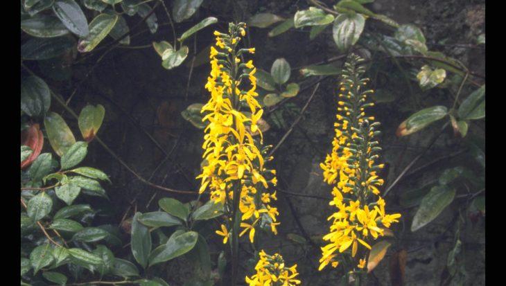 Ligularia 'Weihenstephan'
