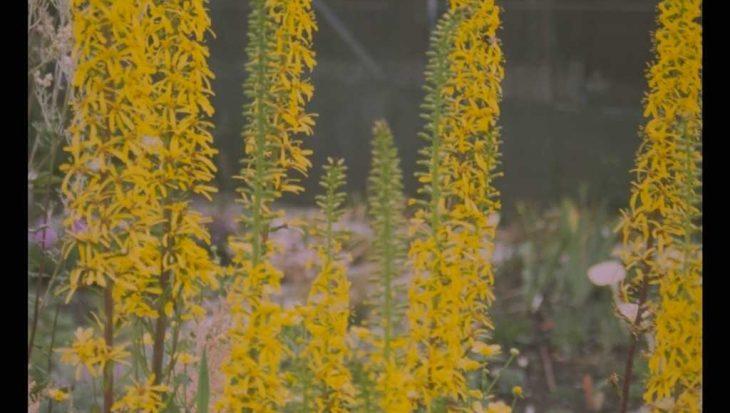Ligularia 'Zepter'