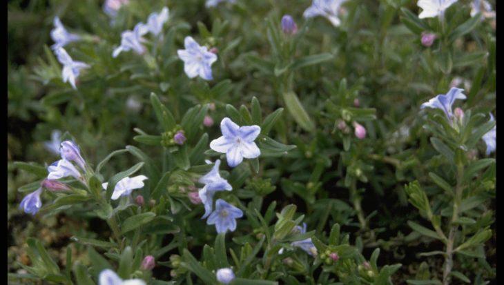 Lithodora diffusa 'Cambridge Blue'
