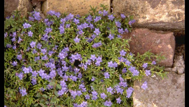 Lithodora diffusa 'Heavenly Blue'