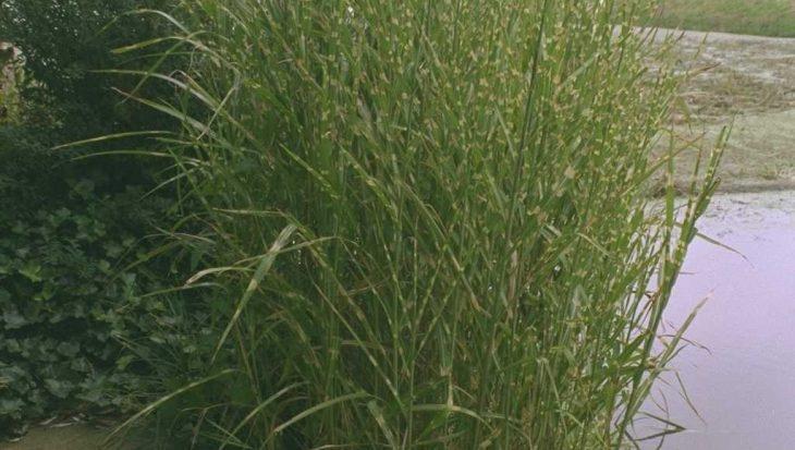 Miscanthus sinensis 'Strictus'