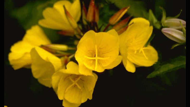 Oenothera fruticosa 'Hohes Licht'