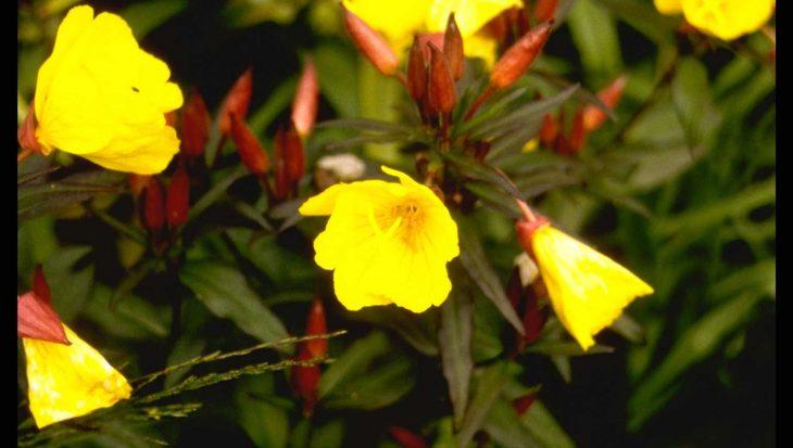 Oenothera fruticosa 'Sonnenwende'