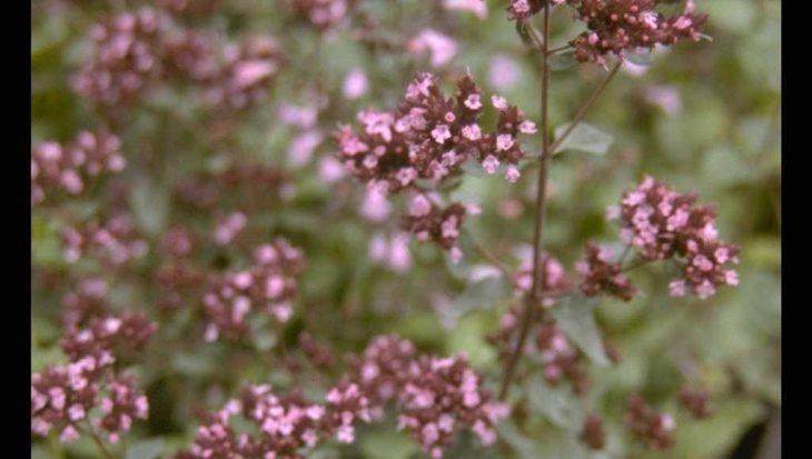 Origanum laevigatum 'Hopleys'