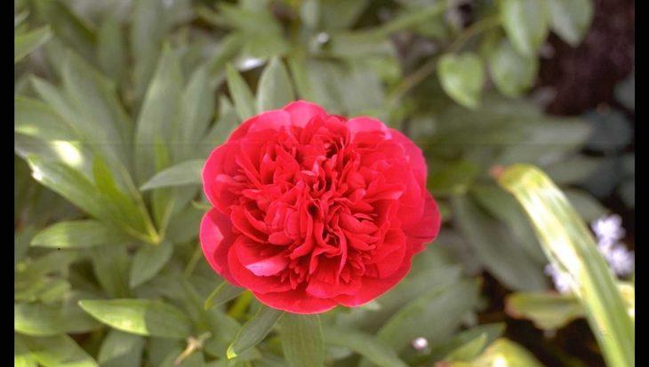Paeonia officinalis 'Rubra Plena'