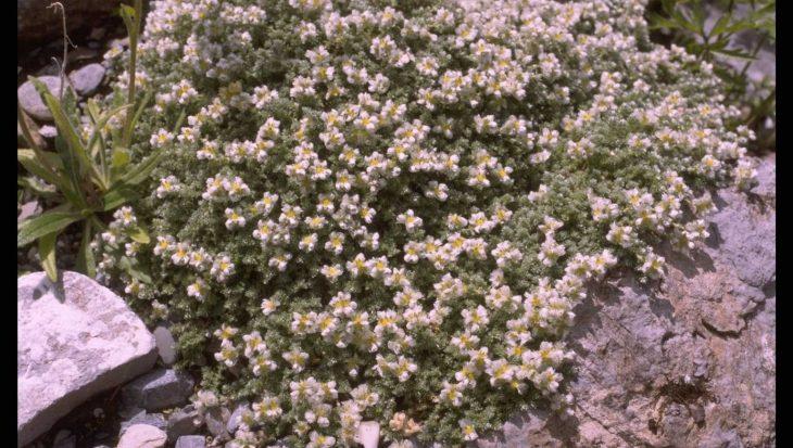 Paronychia kapela subsp. serpyllifolia