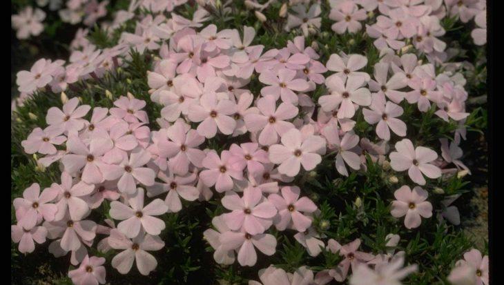 Phlox 'Lilac Cloud'