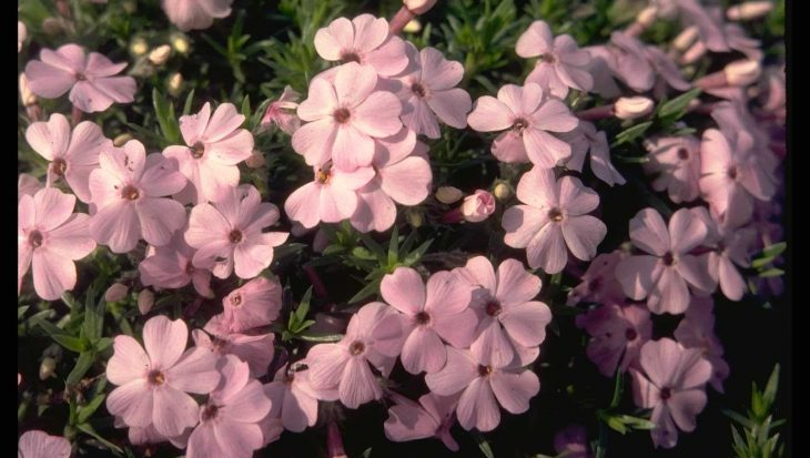 Phlox 'Rose Cushion'