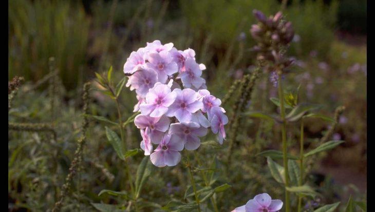 Phlox 'Lavendelwolke'