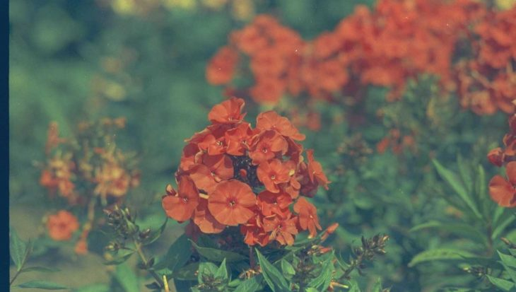 Phlox 'Orange Perfection'