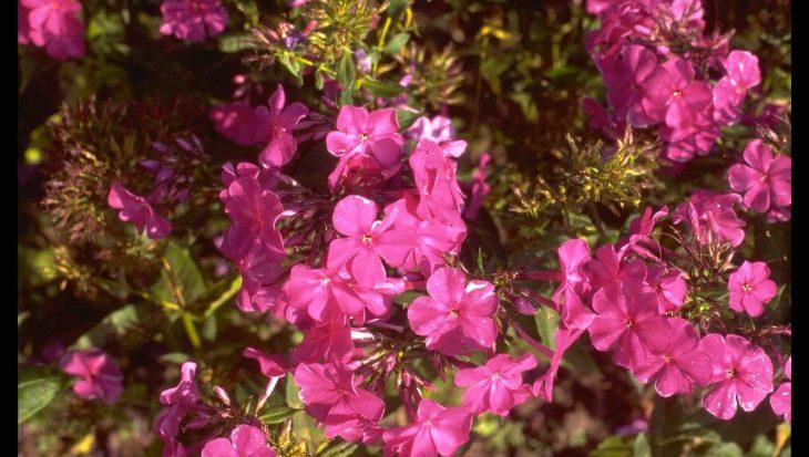 Phlox 'Otley Purple'