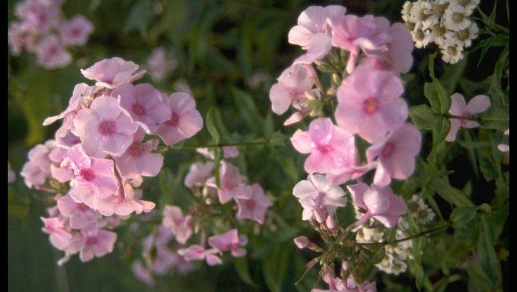 Phlox 'Rosa Spier'