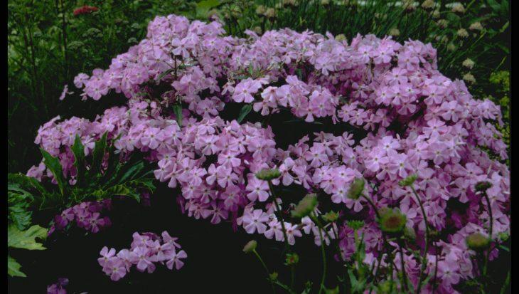 Phlox glaberrima subsp. triflora