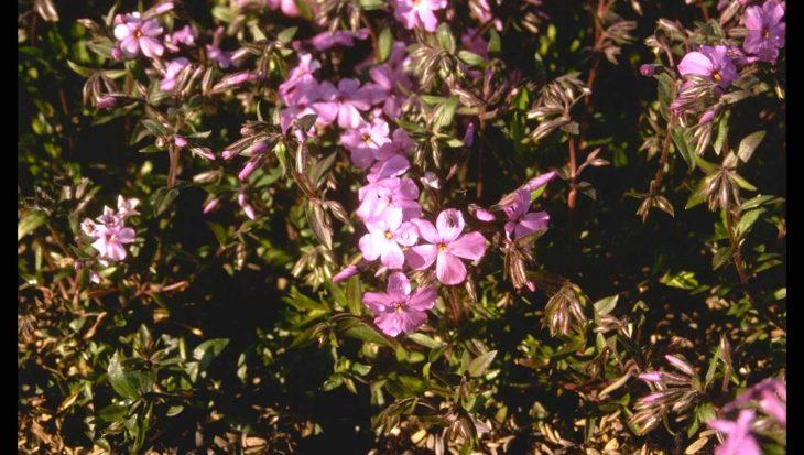 Phlox x procumbens 'Rosea'